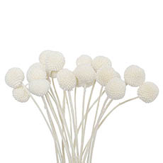 Dried & Preserved Flowers - Dried Billy Button Bunch 20 Stems White
