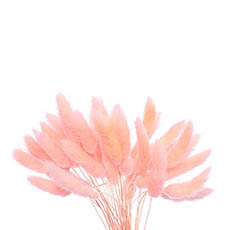 Dried & Preserved Flowers - Preserved Dried Bunny Tail Bunch 60 Cloud Pink