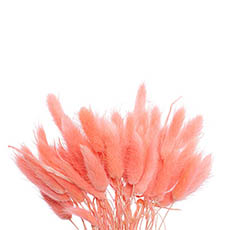 Dried & Preserved Flowers - Preserved Dried Bunny Tail Bunch 60 Peach