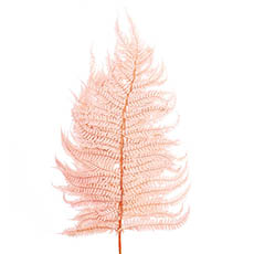 Dried & Preserved Flowers - Preserved Dried Leatherleaf Fern 5 Stems Soft Pink