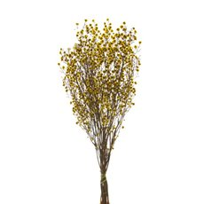 Preserved Australian Stirlingia Yellow 70cm x 10 Stem