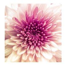 Cards Square Chrysanthemum Pink (10x10cm) 50Pk