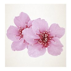 Florist Enclosure Cards - Cards Square Cherry Blossom Pink (10x10cm) Pack 50