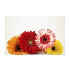 Cards White Gerbera Bunch 50Pk (10x6.5cmH)