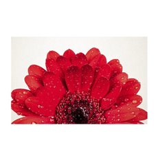 Cards White Gerbera Single Red 50Pk (10x6.5cmH)