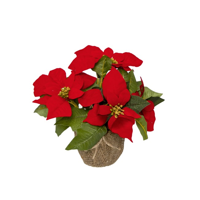 Christmas Flowers - Poinsettia Potted Burlap Wrapped 5 Flowers Red (26cmH)
