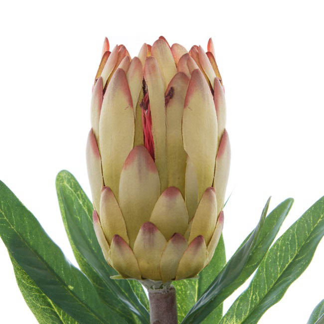 Australian & Native Flowers - Native Protea Longifolia Green (76cmH)