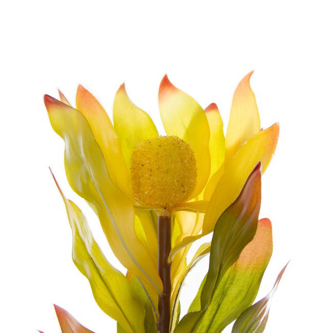 Australian Native Flowers - Australian Native Leucadendron Hybrids Green Yellow (75cmH)