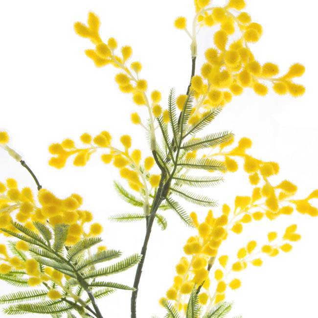 Australian & Native Flowers - Australian Native Wattle Supreme Yellow (85cm.ST)