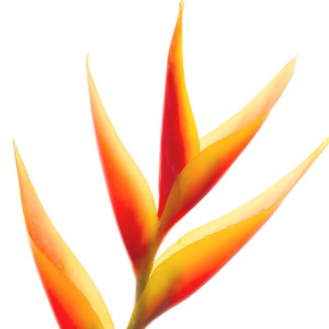 Tropical Flowers - Tropical Parrot Heliconia Orange (89cmH)