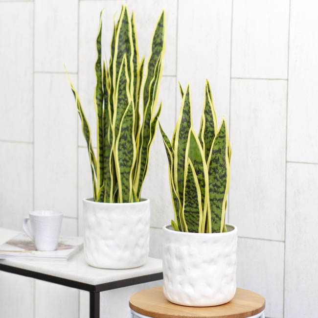 Artificial Plants - Artificial Sansevieria Potted Real Touch (55cm)