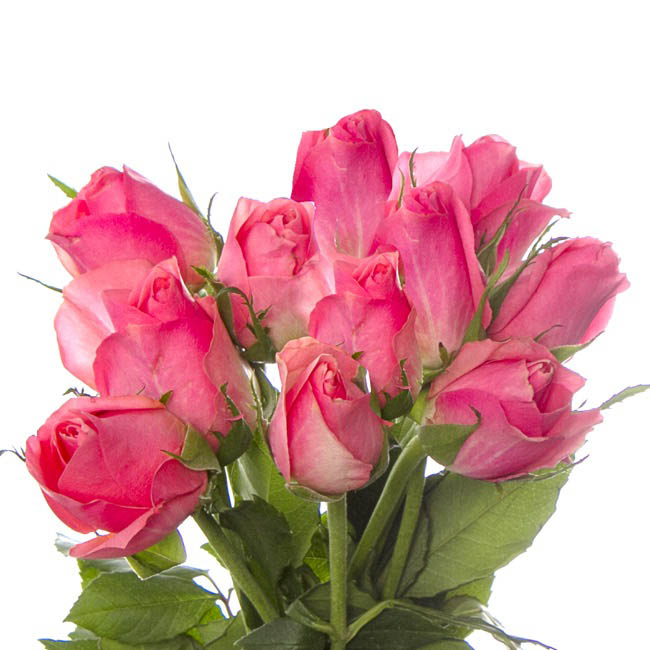 Fresh Roses - Fresh Rose Imported Intermediate Bunch 10 Ace Pink (40cm)