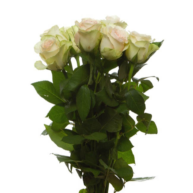 Fresh Roses - Fresh Rose Imported Intermediate Bunch 10 La Belle (40cm)